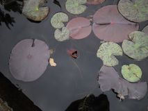 Almofadas de lírio que flutuam em uma lagoa imagens de stock royalty free