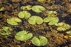 Almofadas de lírio verdes na lagoa Imagem de Stock