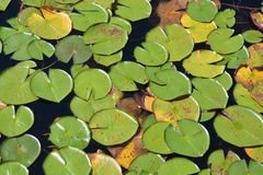 Almofadas de Lilly Imagens de Stock Royalty Free
