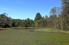 Almofadas de Lilly na superfície e árvores na costa de um lago Fotos de Stock Royalty Free
