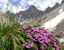 Almohada rosada (acaulis del silene) y picos Foto de archivo