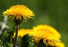 Almohadillas amarillas Foto de archivo libre de regalías