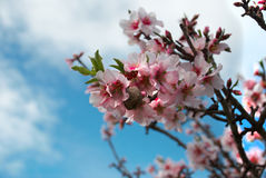 Almond. Nut in flowering tree, two seasons in one picture Stock Images