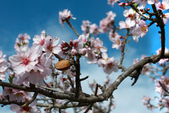 Almond. Nut in flowering tree, two seasons in one picture Stock Photos