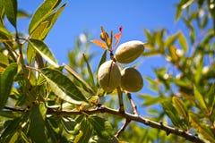 Free Almond Stock Photography - 56925572