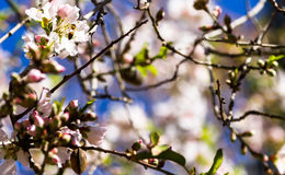 Almond bee. ) Bee and almond spring flowers on blue sky background Royalty Free Stock Photos