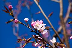 Almond in bloom Stock Photos
