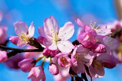 Almond in bloom close-up Royalty Free Stock Photography