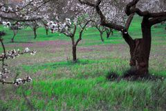 Almond tree in white flowers and green landscape. The almond bloom gives soft and decisive colors. White and pink Stock Photo