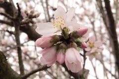 Almond bloom Stock Image
