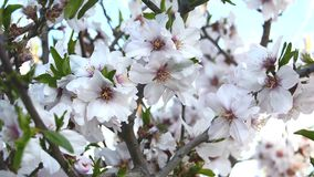 Almond bloom in spring. In a sunny day stock video