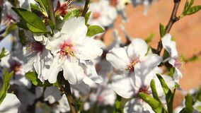 Almond bloom in spring. In a sunny day stock footage