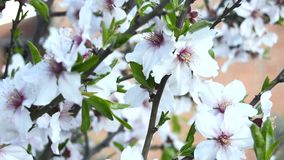 Almond bloom in spring stock video footage