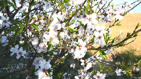 Almond bloom in spring. In a sunny day stock video footage