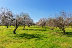 Almond blooming garden in Portugal. Stock Photography
