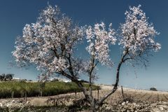 Almond blooming garden in Portugal. Stock Photos