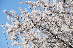 Almond blooming Stock Photo