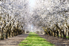 Almond blooming Stock Image