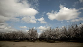 Almond Blooming Trees Stock Images