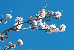 Almond blossom. Almond flowers with selective sharpness against the tree and sky background Stock Photo
