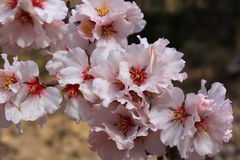 Almond blossom. Almond tree in full blossom Stock Photo