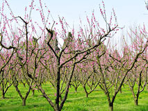 Almond blossom. Almond orchard in blossom, taken in Provence, France Stock Photos