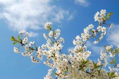 Almond-blossom Stock Photos