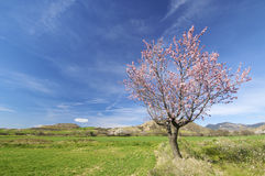 Almond blossom. S in a meadow green Royalty Free Stock Photos