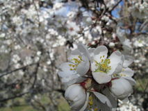 Almond blossom. In Andalusia, Spain Royalty Free Stock Photo