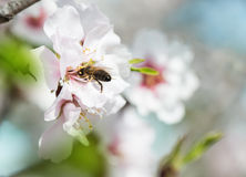 Almond Blossom and bee Royalty Free Stock Images