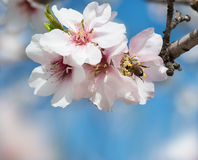 Almond Blossom and bee Royalty Free Stock Image
