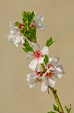 Almond blossom, blooming almond tree in March Royalty Free Stock Images