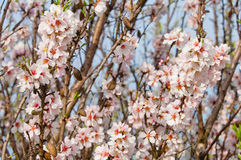 Almond blossom, blooming almond tree in March Stock Photography
