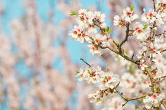 Almond blossom, blooming almond tree in March Stock Image