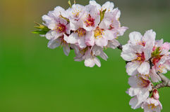 Almond blossom, blooming almond tree in March Royalty Free Stock Photo