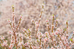 Almond blossom, blooming almond tree in March Royalty Free Stock Image