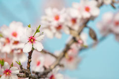 Almond blossom, blooming almond tree in March Royalty Free Stock Photos
