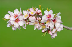 Almond blossom, blooming almond tree in March Stock Images