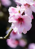 Almond blossom Royalty Free Stock Photo