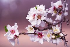 Almond Blossom Branch Stock Images