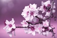 Almond Blossom Branch Pink Ultra Violet Toned. Copy space Stock Photography