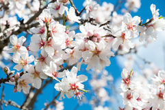 Almond blossom. Royalty Free Stock Photos