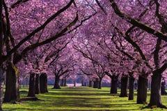 Almond blossom royalty free stock photo