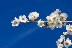 Almond blossom close up Stock Images