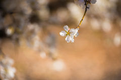 Almond blossom, close-up. Blurred background. Royalty Free Stock Images