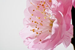 Almond blossom, Close-up Royalty Free Stock Image