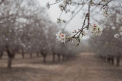 Almond blossom close up Almond Orchard trees background early spring blooming Stock Photos