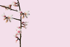 Almond blossom closeup Stock Photography