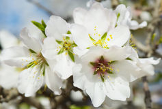 Almond Blossom Royalty Free Stock Images