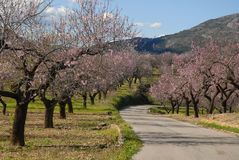 Almond blossom on the Costa Blanca, Spain. stock photo